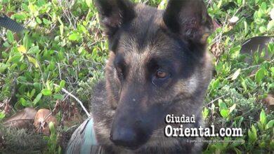 La perra Lola, del Cuerpo de Bomberos de SDE, especializada en busqueda de personas